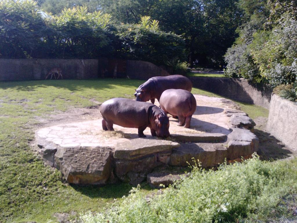 Бегемоты в Берлинском зоопарке