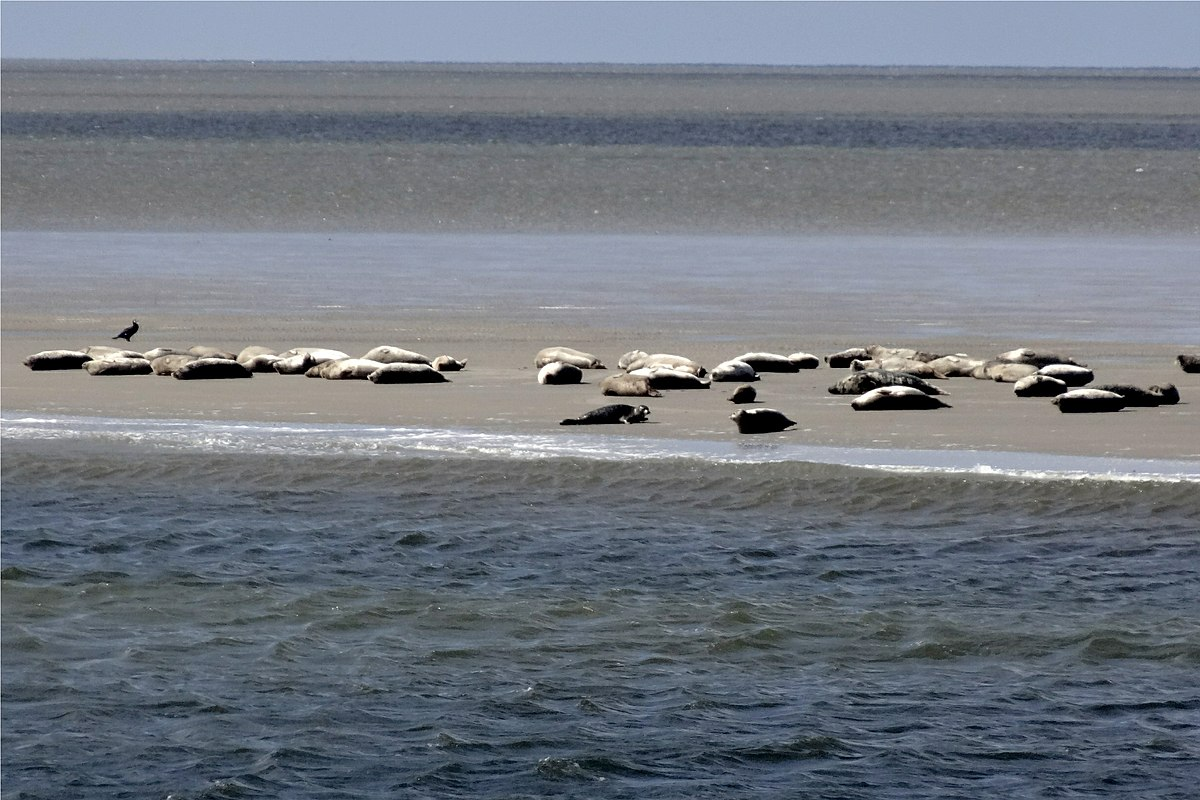 Тюлени в Нижнесаксонских ваттах