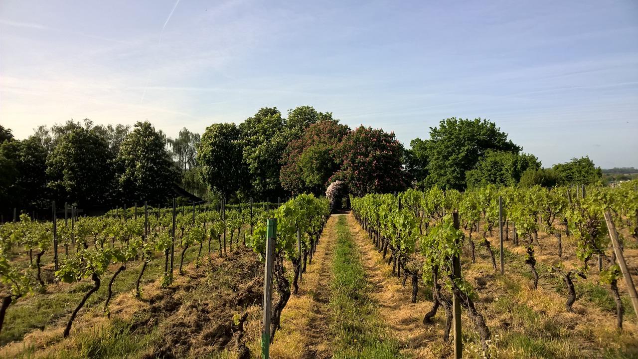 Виноградинки в Рейнхессене